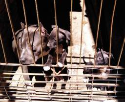 filhote de pit bull femea