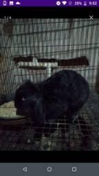Coelho mini lop preto com 8 meses