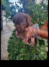Labrador chocolate\ amarelo\ preto, machos e fêmeas com garantias