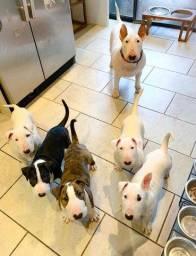 Filhotinhos de Bull Terrier