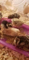 Filhotes de codornas gigantes e ovos galados