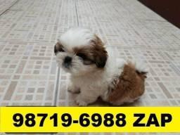 Canil Cães Top Filhotes BH Shihtzu Maltês Bulldog Pug Yorkshire Beagle Basset