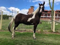 Título do anúncio: Vendo Cavalo Mangalarga Pampa de Preto com Documeno