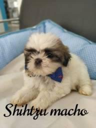 BABY SHIH TZU