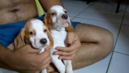 Beagle vende-se filhotes