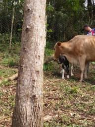 Vendo vaca de leite mestiça Jersey