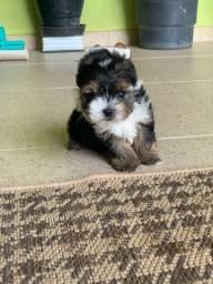Filhote de Biewer Terrier