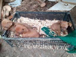Vende-se cachorrinhos pinscher