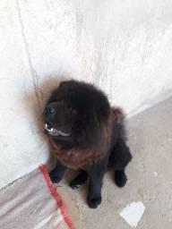 Cachorro chachau