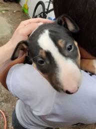 Filhote Bull terrier