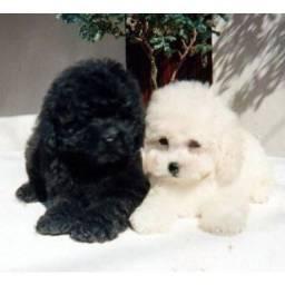 Filhote poodle microtoy (macho)