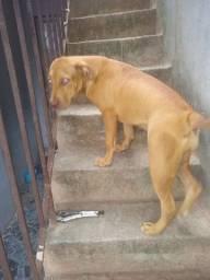 Troco por Bull red nose por cavaquinho tem 5 meses cachorra muito mansa