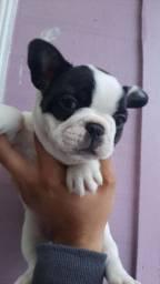 Bulldog fofos