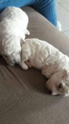 Poodle Mimi