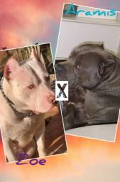Filhotes de pitbull monster