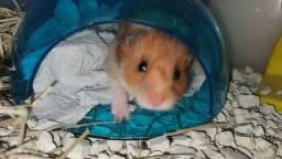 "Hamster Sírio ""Angorá"""