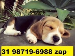 Beagle Mini Filhotes Tricolores Perfeitos
