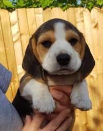 Beagle machos e fêmeas a pronta entrega