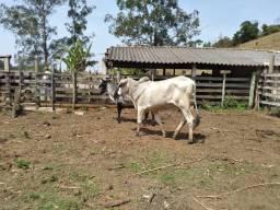 Reprodutor jovem filho de brahman po com vaca nelore