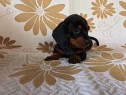Filhote Basset Dachshund Mini