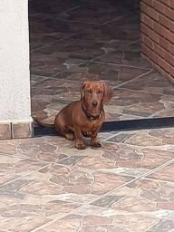 Cachorro  macho raça basset hound