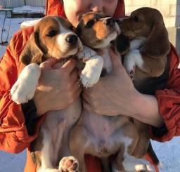 Filhotes de Beagle Maravilhosos