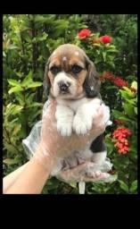 Beagle - Vacinado