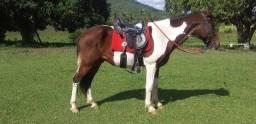 Cavalo pampa de marcha picada