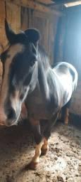 Vendo cavalo puro crioulo chileno. Com papel em mãos