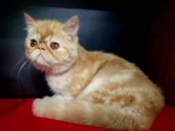 Lindos Gatos Persas Exoticos com Pedigree