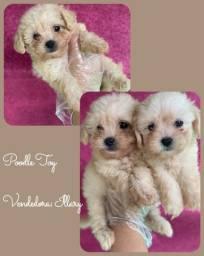 Poodle Toy com pedigree e microchip em ate 12x