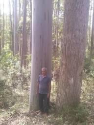 Fazenda com árvores de eucaliptos saligno vermelho com 70 anos