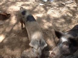 Porca prenha de 3 cria