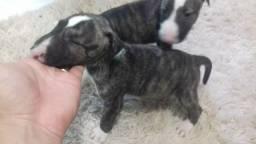 Vendo 4 filhotes de bullterrier ingles ja vermifulgado otima linhagem
