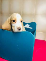 Beagle macho bicolor a pronta entrega.