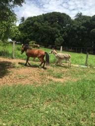 Cavalo piquira e jumentinha