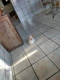 Cachorro maltês