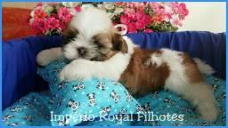 Império Royal Filhotes* Lindos Shihtzu a Pronta Entrega Mini