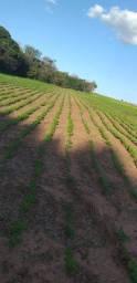 Procuro fazenda para arrrendar para plantio