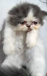 Gato Persa Puro Filhote