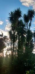 Yucca padrão de qualidade