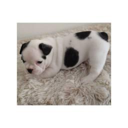 Bulldog Françes com pedigree e microchip em ate 18x