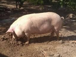 Título do anúncio: Vende se essa porca * whtas