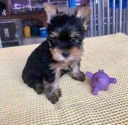 Lindo filhotinho de yorkshire terrier fêmea disponível a pronta entrega