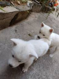 Filhotes de Akita inu