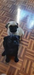 Filhotes Pug macho preto e abricot