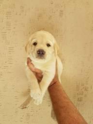 Labrador filhotes maravilhos * Geovane