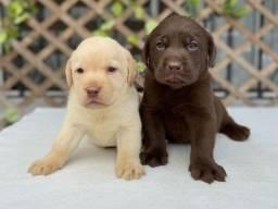 Labrador linhagem campeã!