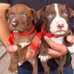 American Pitbull - lindos filhotes red nose !!!