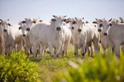 Vaca Nelore a venda região de Parauna